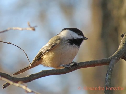 Black-capped and Carolina Chickadees
