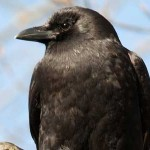American Crow photo by Dave Fox