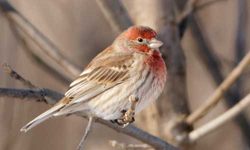 House Finch by-Mike-Timmons