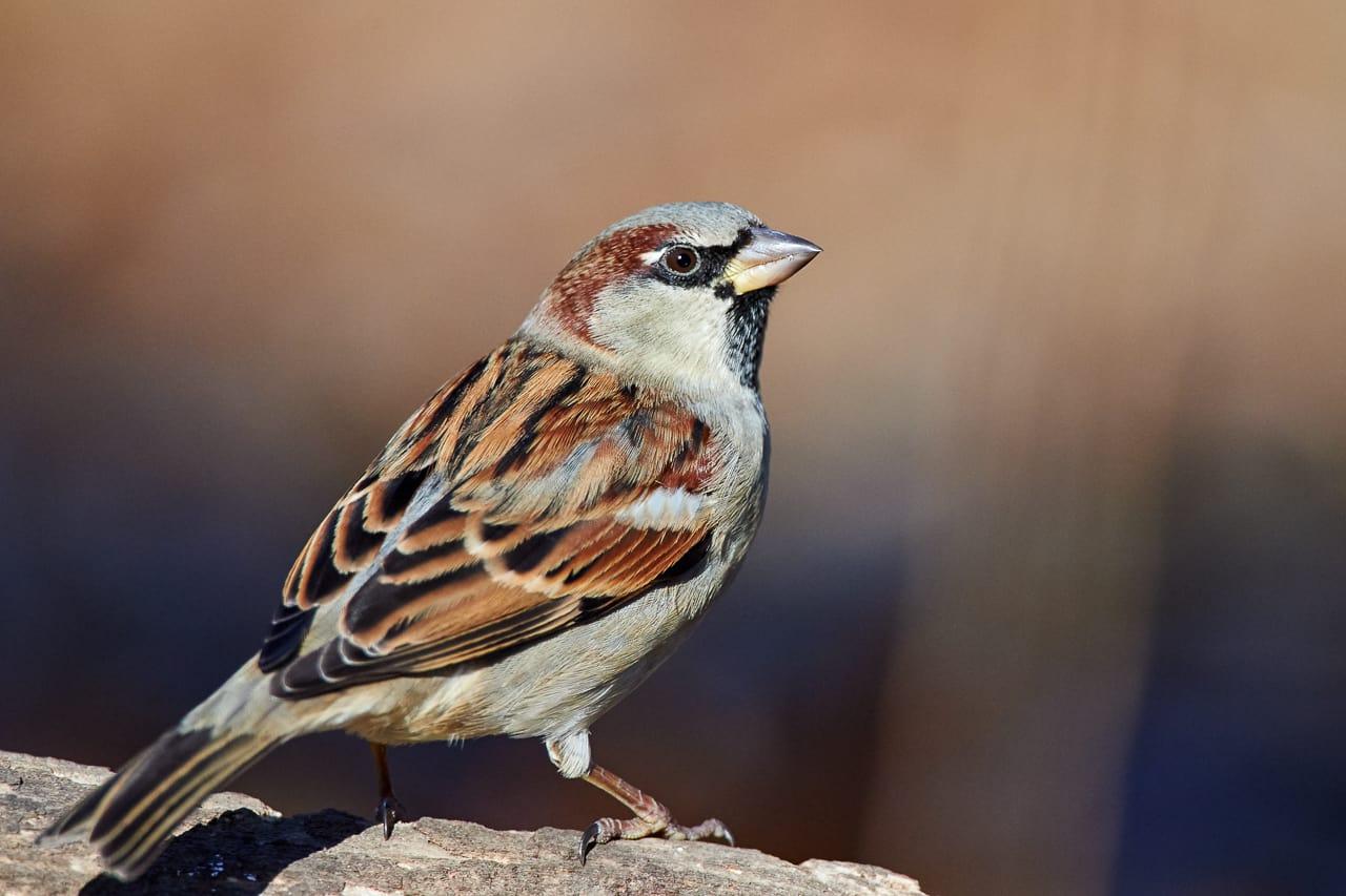 Superbe House Sparrow