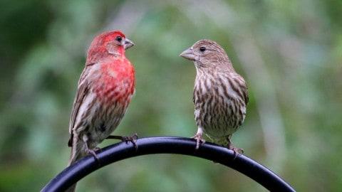 Backyard Birds of Indiana - Indiana Audubon Society