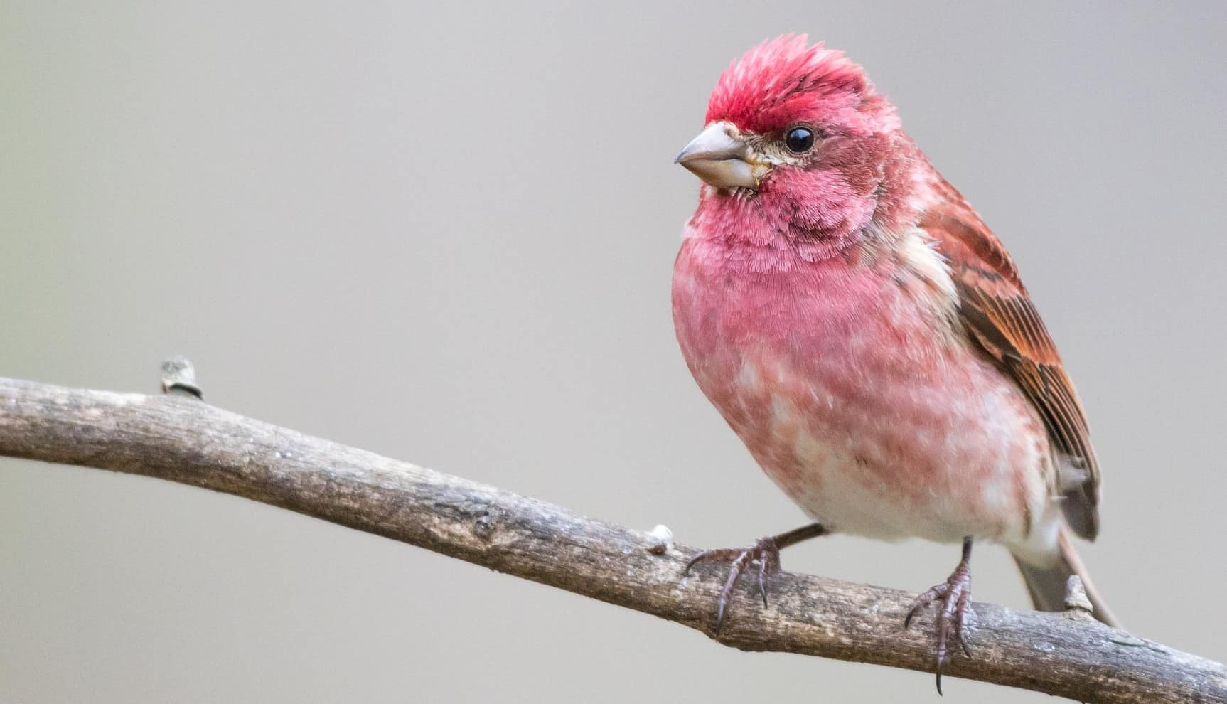 Beau Purple Finch