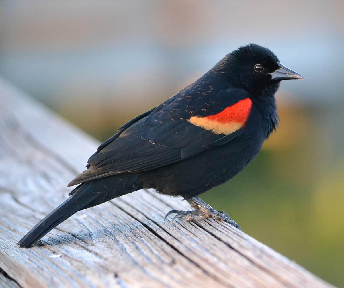 Red Winged Blackbird Indiana Audubon Society