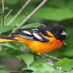 Baltimore Oriole Photo by Charles and Sharon Sorenson