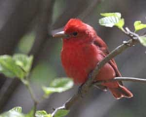Summer Tanager by John Valesquez