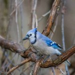 Blue Jay by Jeff Timmons