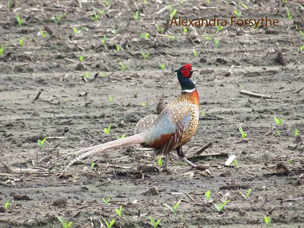Ring-necked Pheasant