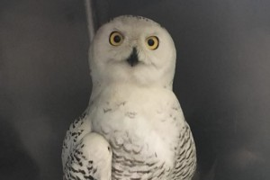 Help Bring A Snowy Owl into Classrooms Near You!